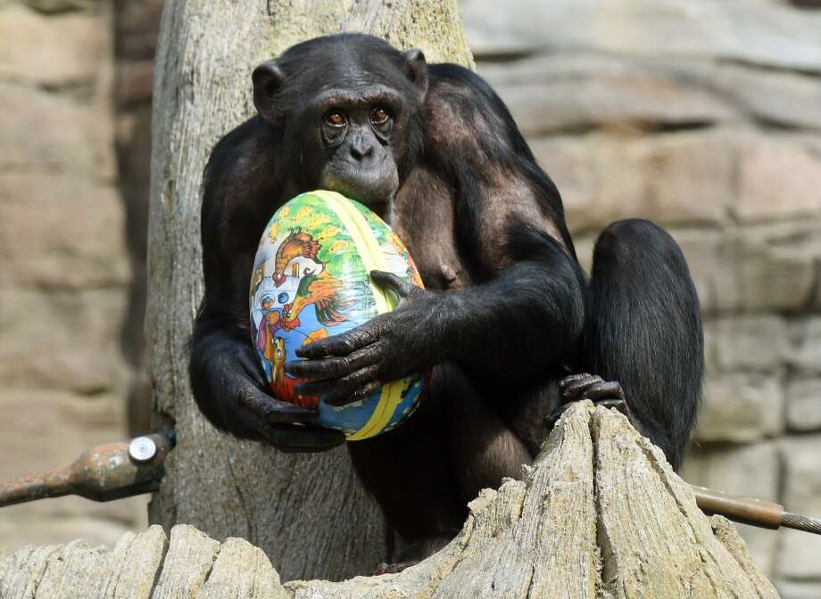 Chimpanzee Viktoria bites into an Easter egg as she sits in her enclosure at the zoo in Hanover, central Germany on April 3. Photo: HOLGER HOLLEMANN, AFP/Getty Images