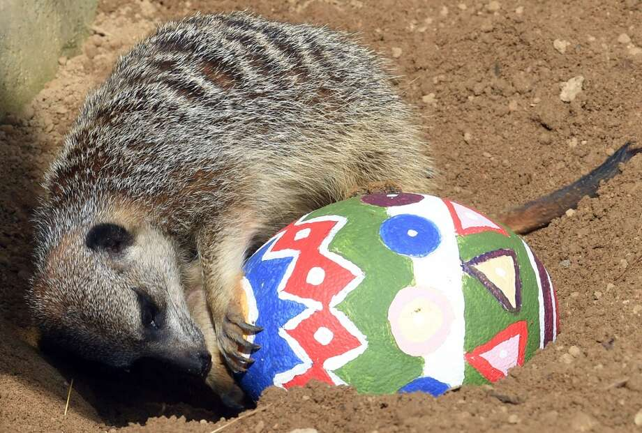 A meerkat plays with an Easter egg in her enclosure at the zoo in Hanover, central Germany on April 3. Photo: HOLGER HOLLEMANN, AFP/Getty Images