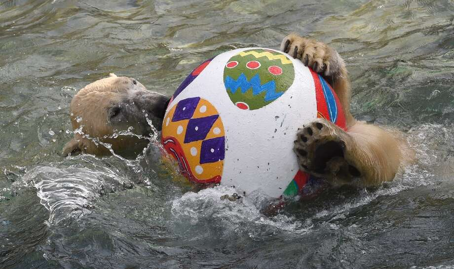 Polar bear Nanuq plays with an Easter egg in her enclosure at the zoo in Hanover, central Germany on April 3. Photo: HOLGER HOLLEMANN, AFP/Getty Images