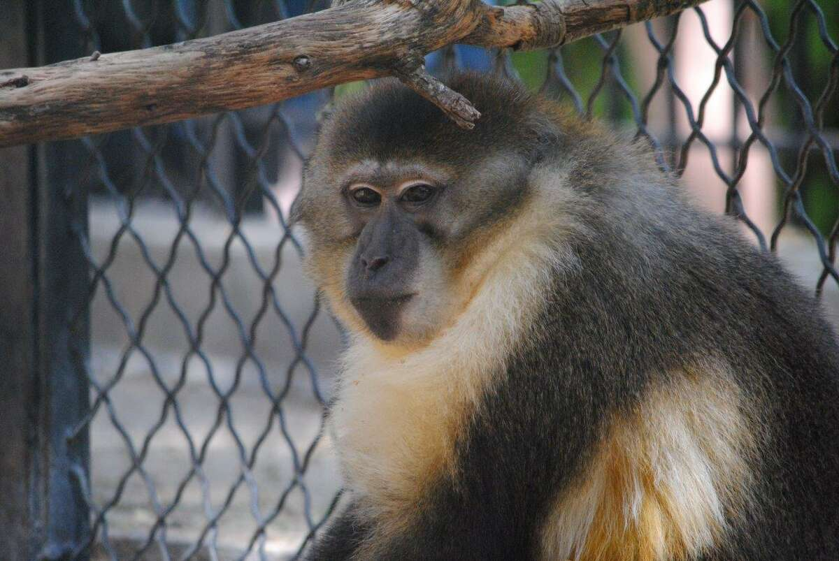 Four Golden-bellied Mangabey monkeys were shipped from the San Antonio zoo to Europe April 15, 2014.