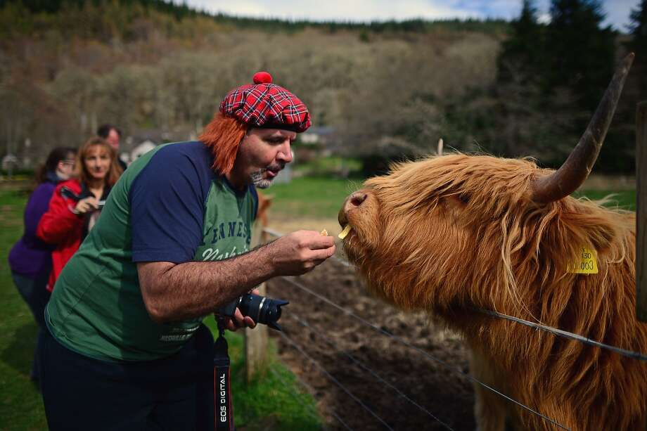 Ginger snap:A redheaded photographer feeds a redheaded Highland cow on a farm in   Invermoriston, Scotland. Photo: Jeff J Mitchell, Getty Images