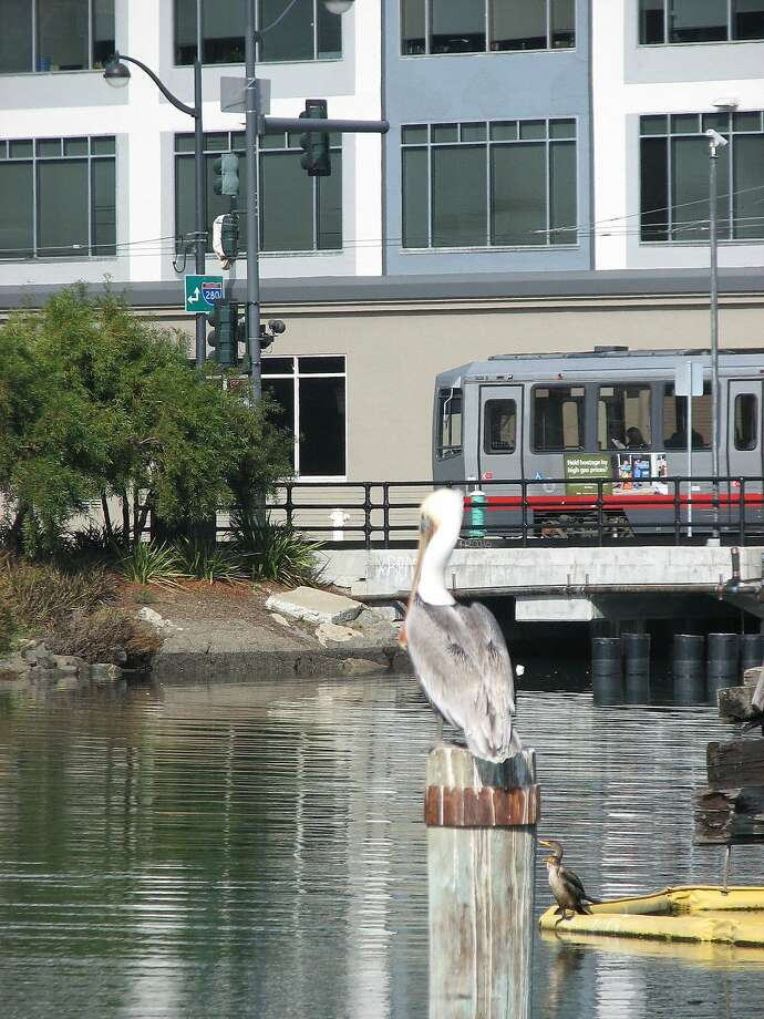 A pelican perches by Mission Creek near the light-rail line in the Mission Bay neighborhood. Photo: John King