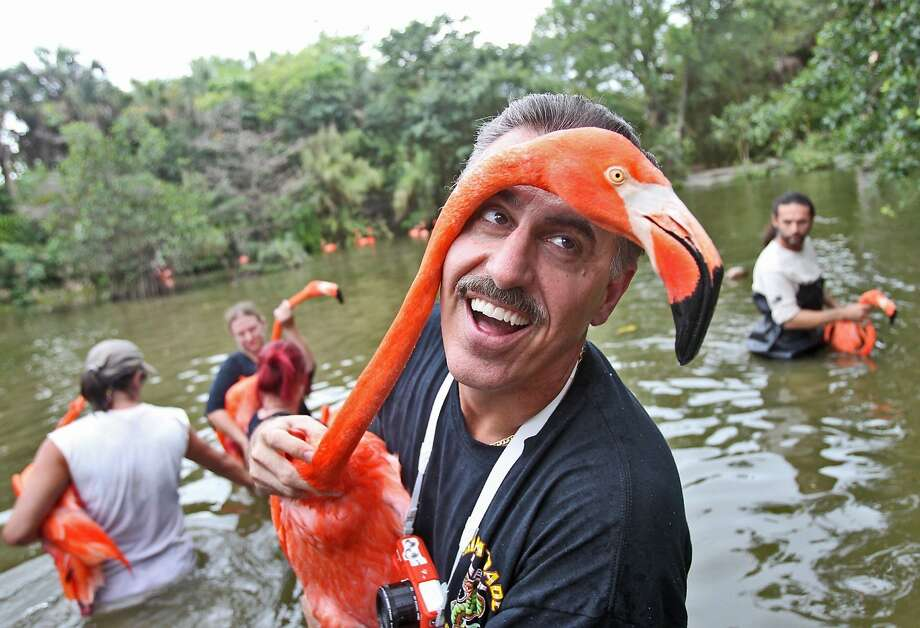 Moving day: Zoo Miami communications director Ron Magill cranes his neck while relocating flamingos to temporary quarters at the zoo. The zoo is building a new, state-of-the-art home for the birds. Photo: Patrick Farrell, McClatchy-Tribune News Service