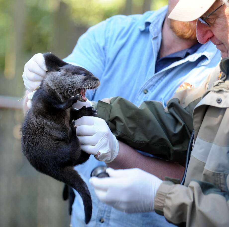 Now you've gone and made him mad: Dr. Howard Hochman (front) gives a 2-month-old North American River otter pup a checkup at the Beardsley Zoo in Bridgeport, Conn. Photo: Autumn Driscoll, Connecticut Post
