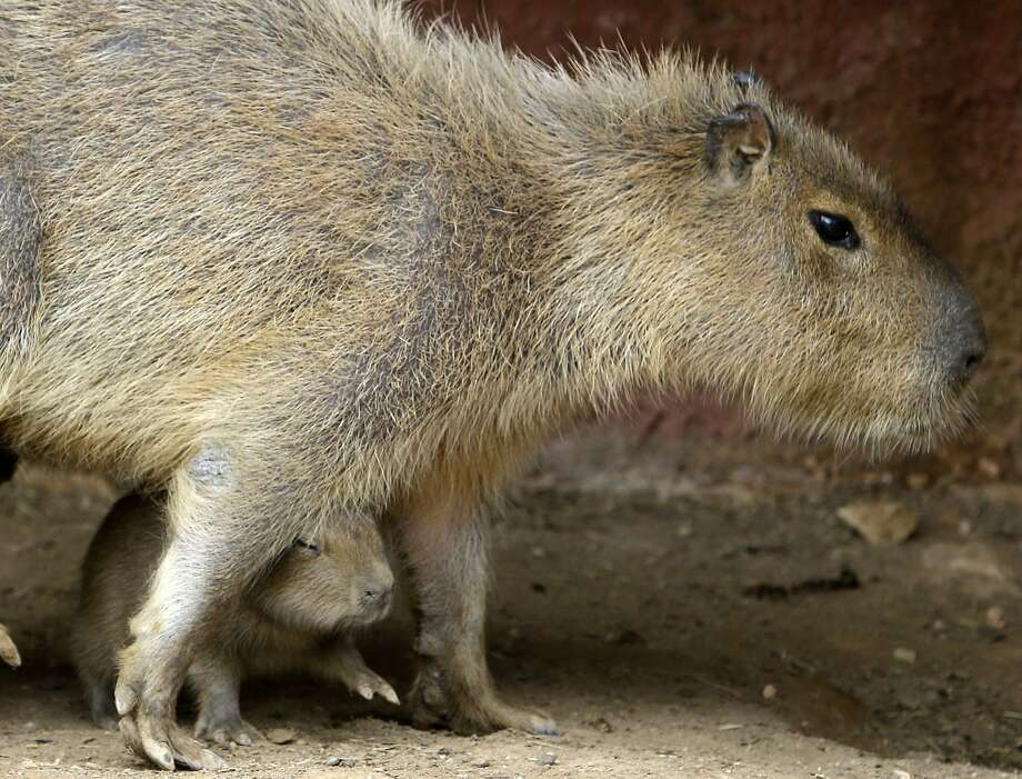Low overhead:Ouch! It's easy to bump your head when Mom decides to walk over you. (Capybaras at Attica Zoological Park in Spata, Greece.) Photo: Thanassis Stavrakis, Associated Press