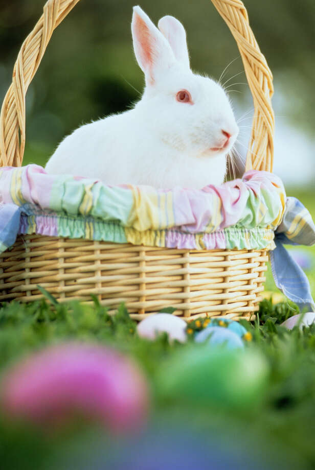 """I auditioned for those Cadbury commercials, but they wanted someone who could cluck. This lousy gig was the only Easter work I could land. So you want the eggs hidden? You do it. I'm going to take a nap in this basket."" Photo: Arthur Tilley, Getty Images / (c) Arthur Tilley"