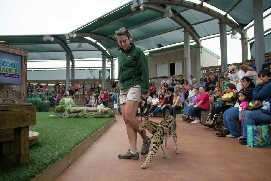 Kelsey McFarland, an animal trainer at the Texas State Aquarium in Corpus Christi, walks Feb. 22, 2014 with Kimani the African serval, a wild cat. Photo: John Tedesco, Staff / San Antonio Express-News