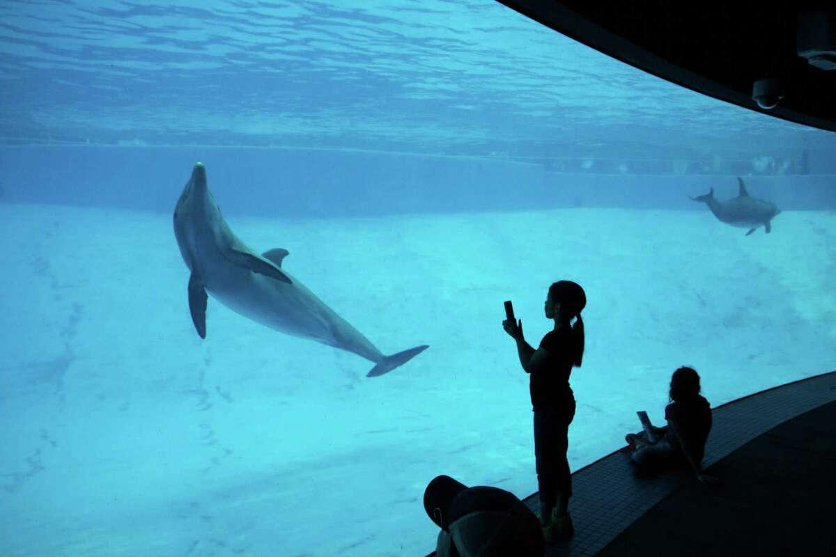 Atlantic bottlenose dolphins perform at the Texas State Aquarium's 400,000-gallon Dolphin Bay exhibit in Corpus Christi.