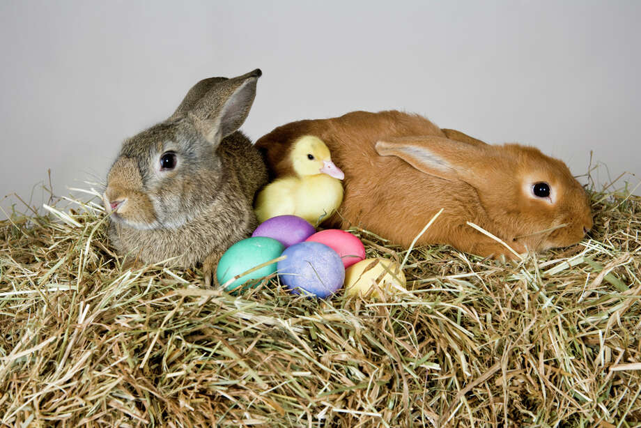 "Duck: ""It's rabbit season!""Bunnies: ""It's duck season!""Duck: ""It's rabbit season!""Bunnies: ""It's duck season!""Duck: ""It's rabbit season!""Bunnies: ""It's rabbit season!""Duck: ""It's duck season!""Bunnies: ""OK, if you say so. We guess you get to deliver the eggs, then."" Photo: Paul Hudson, Getty Images / fStop"
