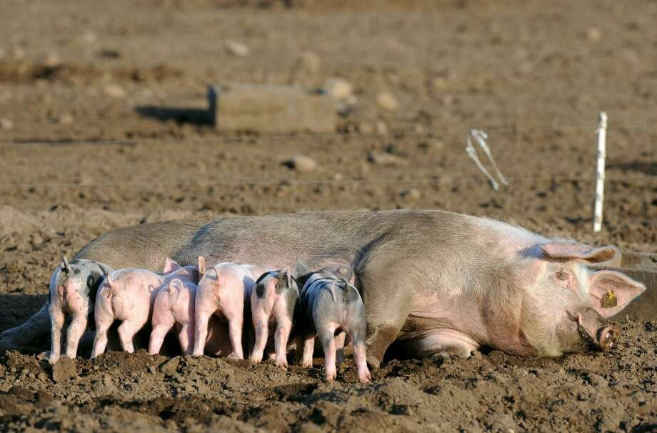 Germany: A sow feeds her piglets on a free range pig farm near Dorum, northeastern Germany. Photo: INGO WAGNER, AFP/Getty Images