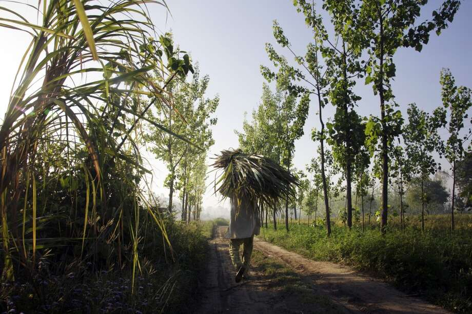 India: A worker carries a bundle of harvested sugarcane along a track in the district of Hapur, Uttar Pradesh, India. Sugar output in India, the world's largest producer after Brazil, is set to climb for the first time in three years as a subsidy for raw exports and abundant dam water spur farmers to increase planting. Photo: Kuni Takahashi, Bloomberg