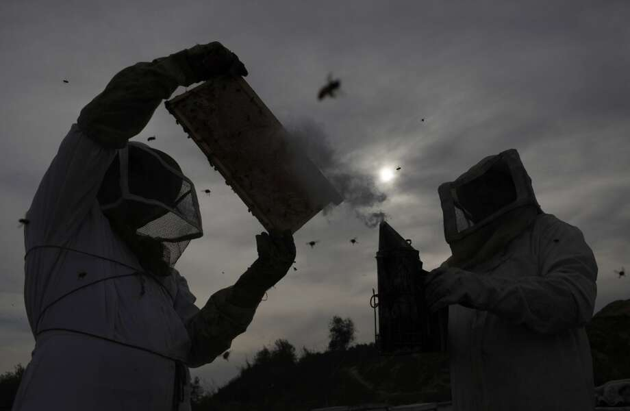 Gaza: Palestinian beekeepers collect honey at a farm in Rafah in the southern Gaza Strip Photo: IBRAHEEM ABU MUSTAFA, Reuters