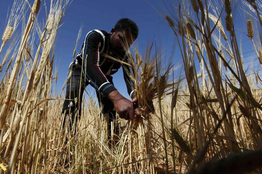 Libya: Workers harvest barley on a farm in Tripoli Photo: ISMAIL ZITOUNY, Reuters