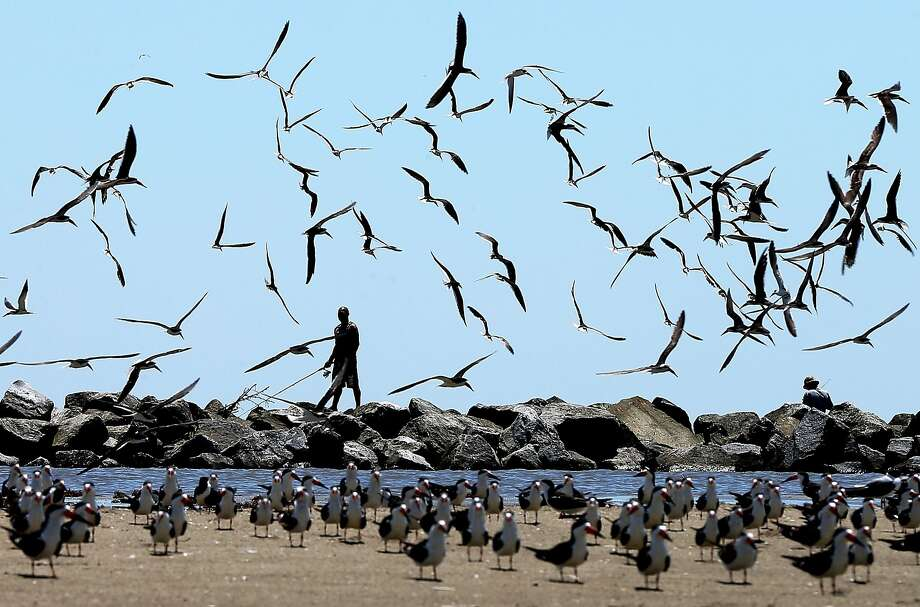 "GRAND ISLE, LA - APRIL 19: Birds fly over a man fishing, days after a BP  announcement that it is ending its ""active cleanup"" on the Louisiana coast from the Deepwater Horizon oil spill, on April 19, 2014 in Grand Isle, Louisiana. The Deepwater Horizon oil rig exploded on April 20, 2010, killing 11 workers and spilling millions of gallons of oil. (Photo by Sean Gardner/Getty Images) Photo: Sean Gardner, Getty Images"