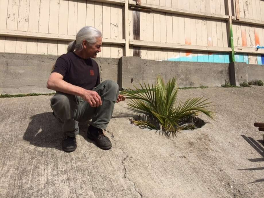 Benjy Young with a palm he planted in a hole in the concrete at Project Artaud.  The Chronicle/Sam Whiting
