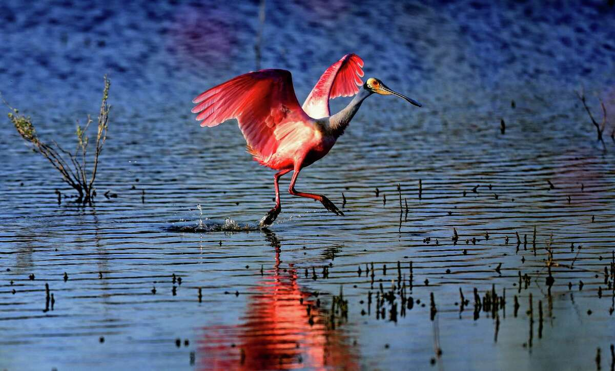 A Roseate Spoonbill takes off on April 9, 2014 in Freeport, Texas. With the expanding of the LNG plant mangy people think it will effect the wildlife in the area. With the Freeport LNG in the processing of buying all the homes in Quintana -- a tiny island town with a population of about 60 -- before it begins construction of an LNG export facility. The move has divided the town. Some are happy to get a pay day. Others don't want to sell out and fear that the plant will permanently ruin the little island they've grown to love. An existing Freeport LNG import facility is on the east end of the island; once the export facility is completed on the west side, the island will largely be industrialized. The fear is that the cute down filled mostly with retirees will cease to exist if enough people sell their homes. (Photo by Thomas B. Shea: For the Houston Chronicle)