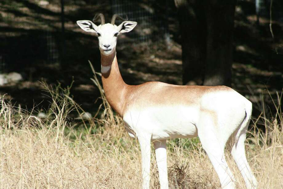 The San Antonio Zoo gives waste from its grain-eating mammals to New Earth, including gazelles. Photo: Natural Bridge Wildlife Ranch, Courtesy