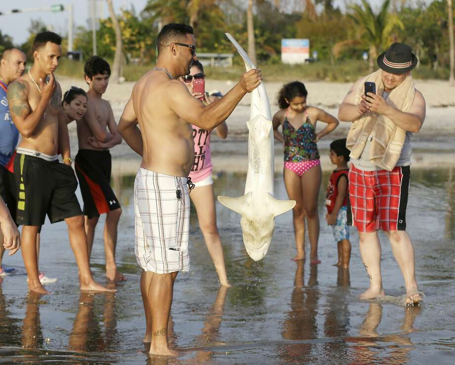 Better use the zoom:A fearless beachgoer who braved shark-infested waters in Biscayne   Bay stands for a trophy photo.  Photo: Wilfredo Lee, Associated Press
