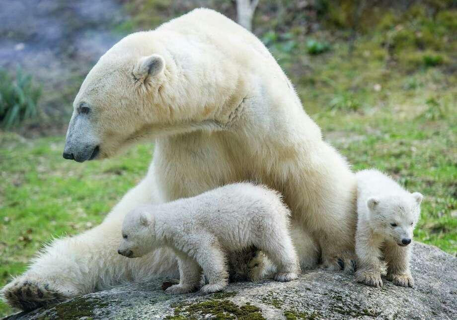 A reader says an important message gets lost in the climate change debate,  including pleas to save polar bears.  Photo: Marc Mueller / Getty Images / DPA