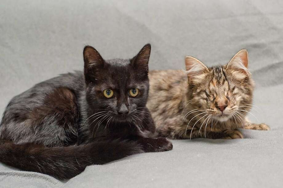Homeless kitten Jett (left) was brought to a no-kill shelter in Redwood City the same day as Celica (right), a blind kitten found under an abandoned car. A Sacramento woman adopted them. Photo: Kelvin Yue