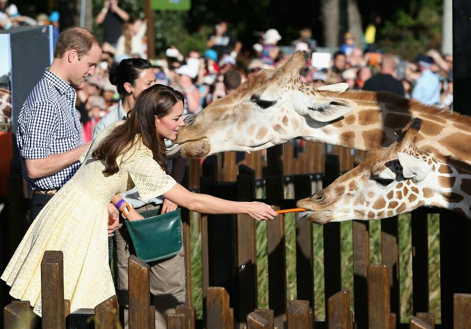Prince William, Duke of Cambridge and Catherine, Duchess of Cambridge feed giraffes at Taronga Zoo on April 20, 2014 in Sydney, Australia. The Duke and Duchess of Cambridge are on a three-week tour of Australia and New Zealand, the first official trip overseas with their son, Prince George of Cambridge. Photo: Chris Jackson, Getty Images