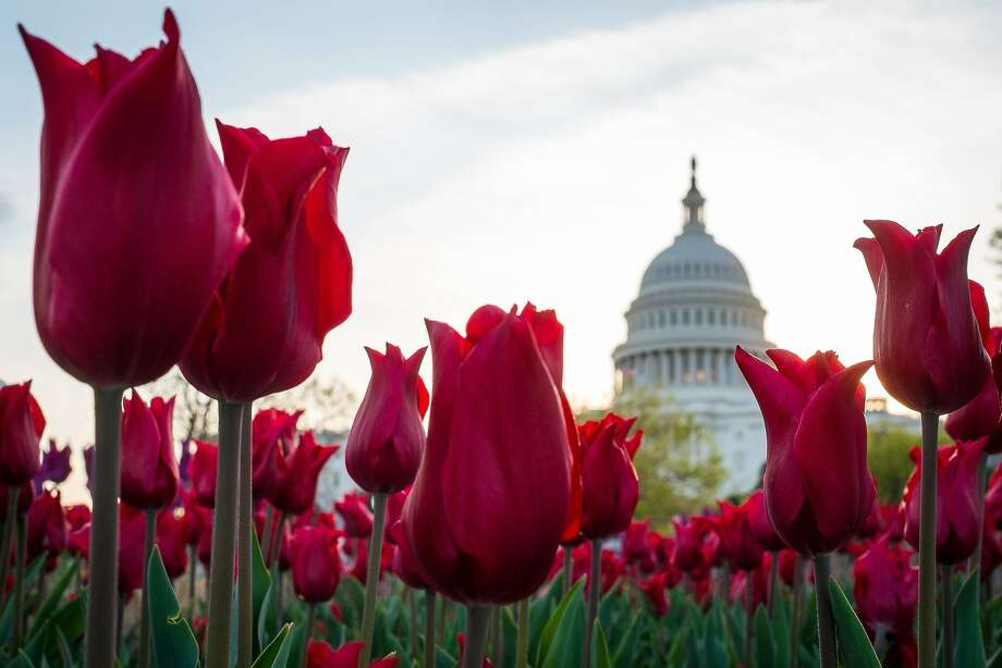 Tulips bloom in front of the Capitol in Washington. The annual burst of color in the 