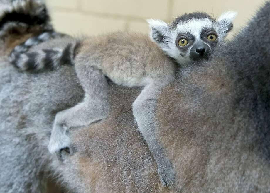 Baby on board:A 4-week-old ring-tailed lemur relaxes while it rides on Mom's back in Erfurt, Germany. Photo: Jens Meyer, Associated Press