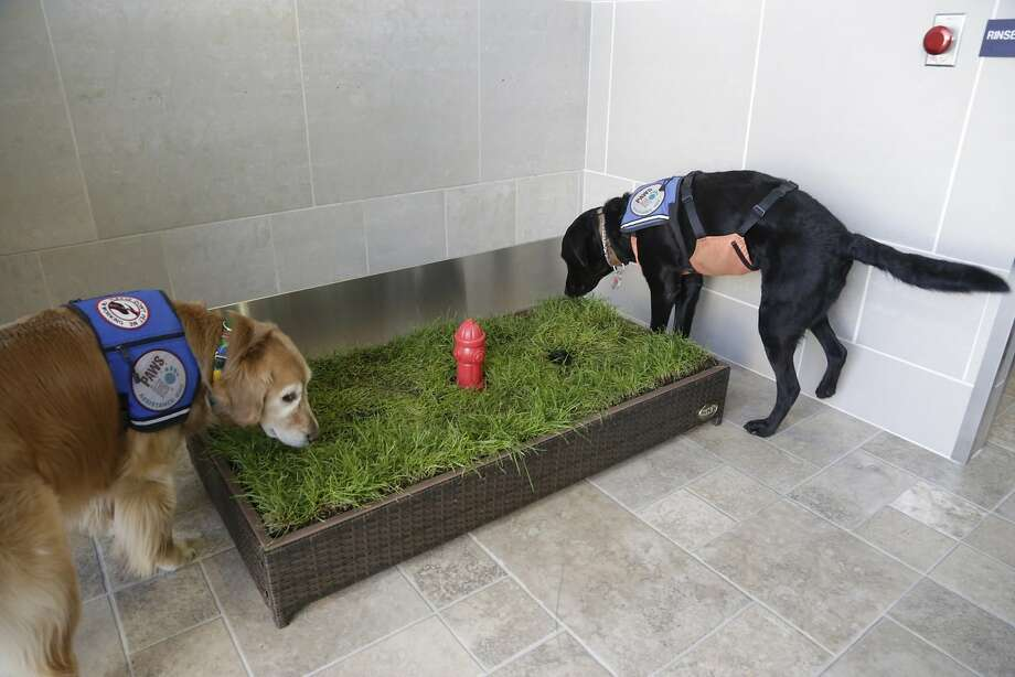 I think they're trying to tell us something:Service dogs Cricket and Jello sniff the strange raised lawn with the tiny fire hydrant in Detroit Metropolitan Airport's McNamara Terminal. Photo: Mandi Wright, Associated Press
