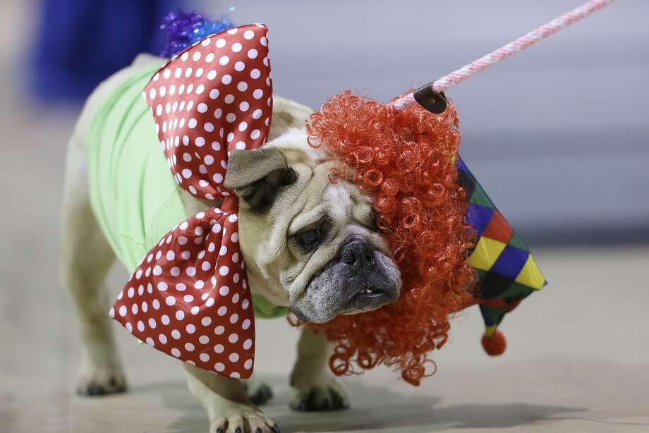 Receding hair line:Jasmine Josephine's wig slides off her head, costing her valuable style points in the 35th Drake Relays Beautiful Bulldog Contest. The pageant kicks off the Drake Relays at Drake University in Des Moines, Iowa.  Photo: Charlie Neibergall, Associated Press