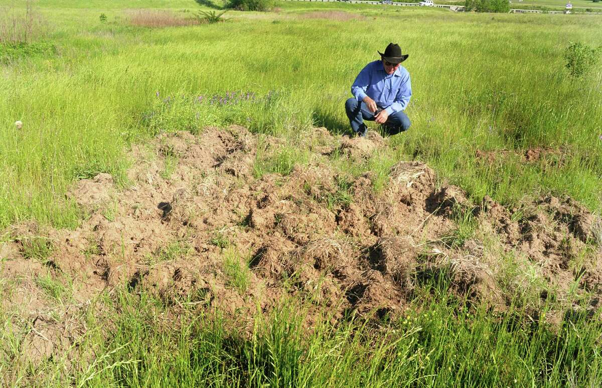 Montgomery County extension agent for agriculture Michael Heimer examines some feral hog damage in a field near Montgomery. He says mature hogs can range form 110-300 pounds and can be extremely resourceful.