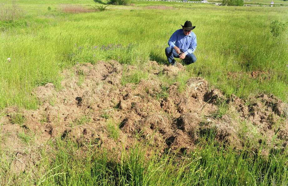 Extension agents bring expertise to a wide variety of rural problems. Here: Montgomery County extension agent for agriculture Michael Heimer examines feral hog damage. Photo: David Hopper, Freelance / freelance