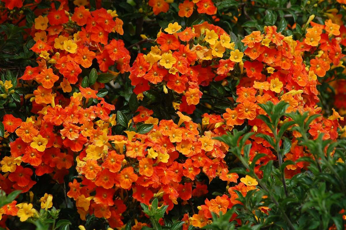 The shrub's trumpet-shaped flowers run the gamut from gold to peach to bright orange.