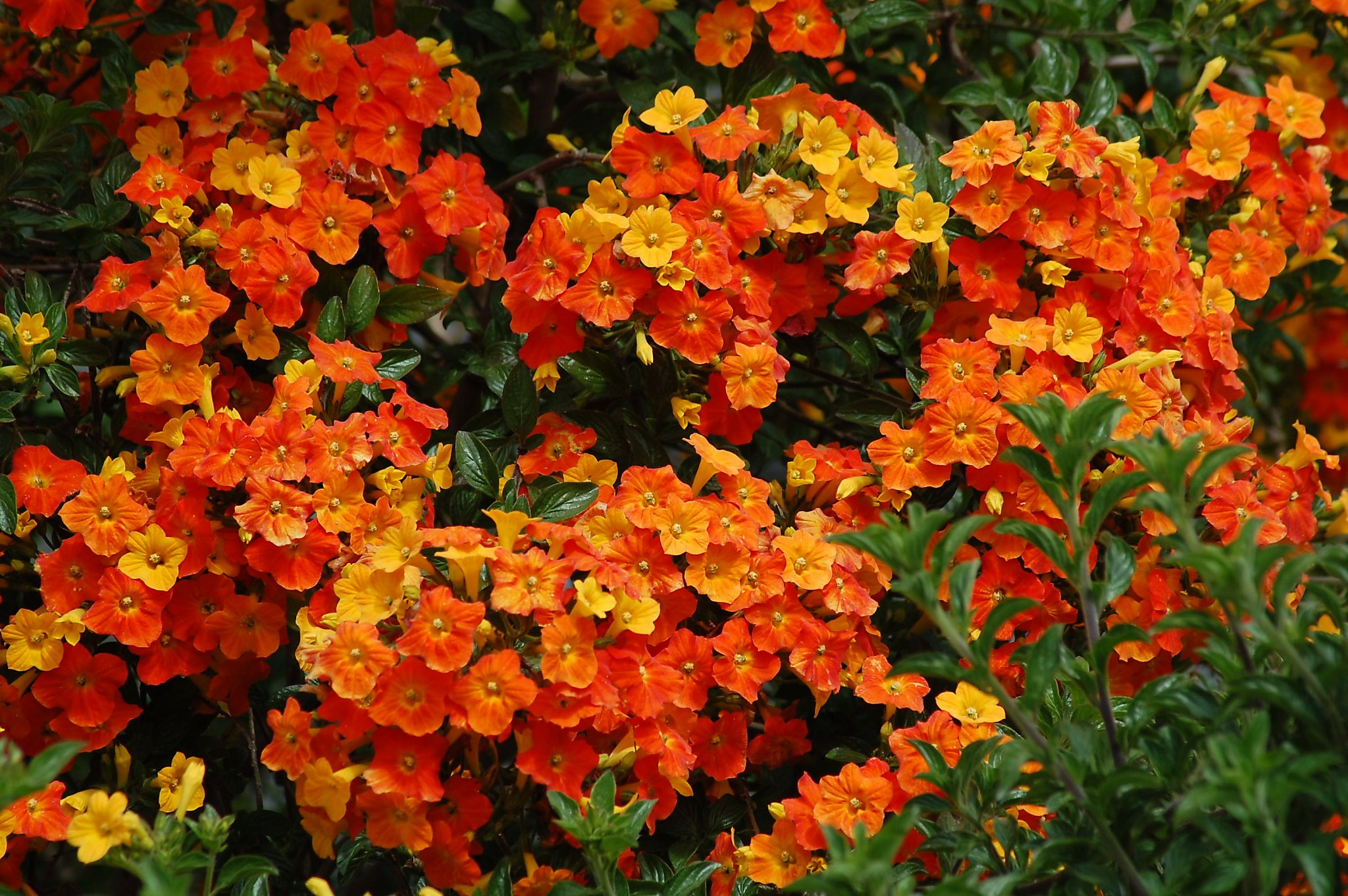 Hardy Marmalade Bush Adds Flamboyance To Your Flora Sfgate
