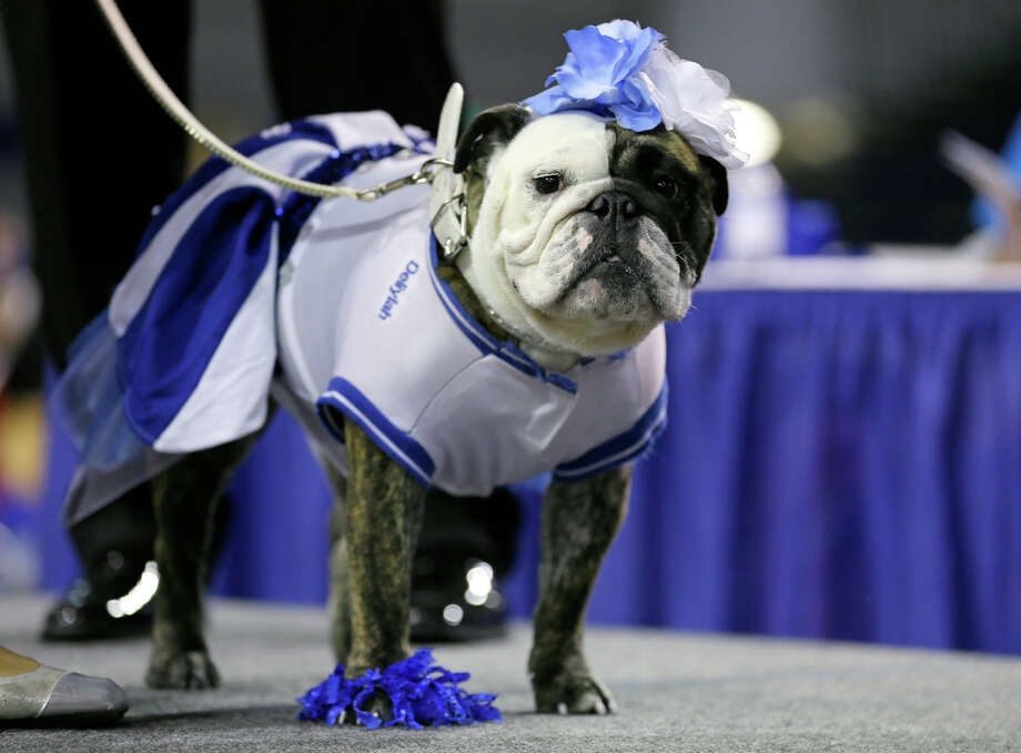 Deliylah stands after winning the best dressed dog award at the 35th annual Drake Relays Beautiful Bulldog Contest, Monday, April 21, 2014, in Des Moines, Iowa. The pageant kicks off the Drake Relays festivities at Drake University where a bulldog is the mascot. Deliylah is owned by Tressa Yeggy, of Des Moines, Iowa. (AP Photo/Charlie Neibergall) Photo: Charlie Neibergall, Charlie Neibergall/Des Moines Register / AP2014
