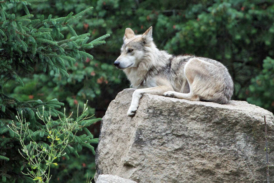 """Gray wolves were added to the Endangered Species List in 1975 after being wiped out across the lower 48 states by government-sponsored trapping and poisoning programs. Thanks to Endangered Species Act protections, populations have since bounced back, but new efforts to """"de-list"""" them could put the animals under the gun again. Photo courtesy of Don Burkett, Flickr Photo: Contributed Photo, Contributed / New Canaan News Contributed"""