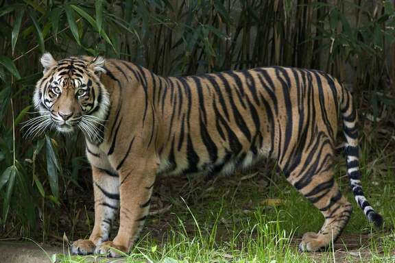 """This handout photo provided the Smithsonian's National Zoo, taken May 23, 2011, shows Sumatran tiger Damai at the zoo in Washington. The Smithsonian's National Zoo wants to highlight the dwindling number of 400 Sumatran tigers left in the wild by launching an """"endangered song"""" on Earth Day. On Tuesday, the zoo is releasing """"Sumatran Tiger,"""" a song from the indie rock band Portugal. The Man. The song was recorded on 400 polycarbonate records that were designed to degrade after a certain number of plays. The only way to save the song is to digitize and """"breed"""" the music by sharing it through social media. It's is being released to 400 participants to share. (AP Photo/Mehgan Murphy, Smithsonian's National Zoo)"""