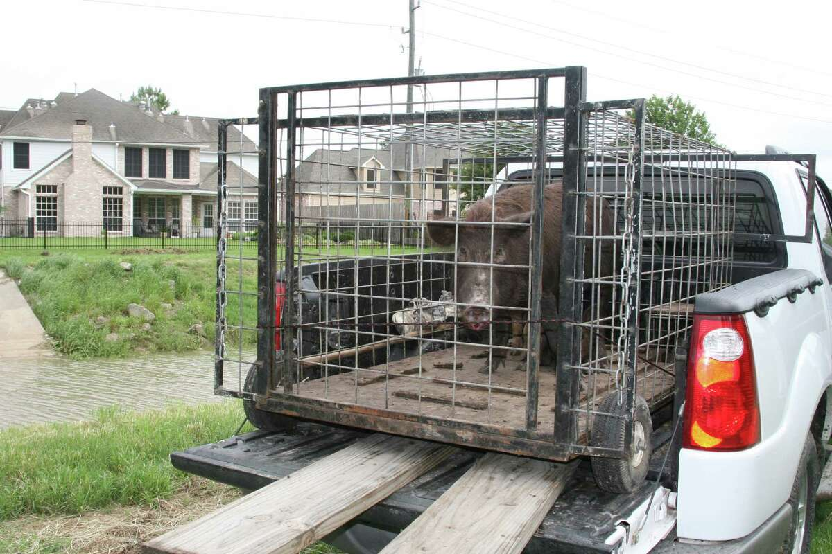 These feral hogs, which had been rooting and destroying yards and landscaping, were trapped.