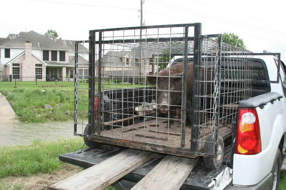 These feral hogs, which had been rooting and destroying yards and landscaping, were trapped. Photo: Shannon Tompkins, Staff / Houston Chronicle