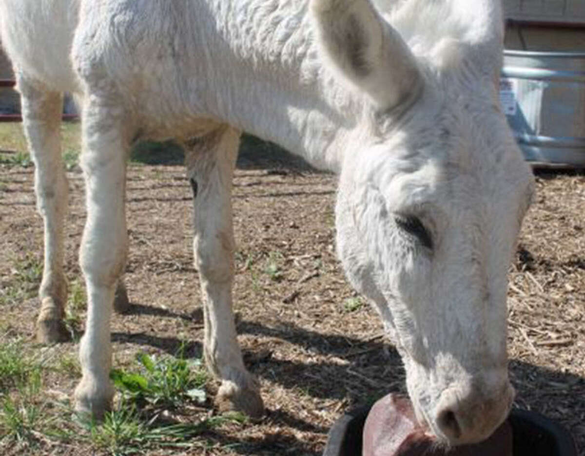 Animal Care Services officers corralled a white donkey Tuesday morning in the Ingram Park Mall parking lot.