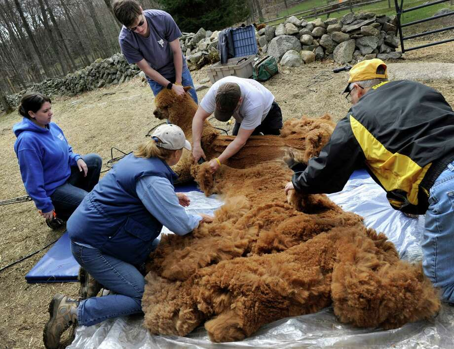 Lynn and Bernie Cieniawa, backs to the camera, assist Ron East and his kids, Jennifer, left and Ron III, who are shearing Buster Brown, one of six Alpacas on the Cieniawa'  Halo Alpaca Farm in Newtown, Conn., Friday, April 18, 2014. Photo: Carol Kaliff / The News-Times