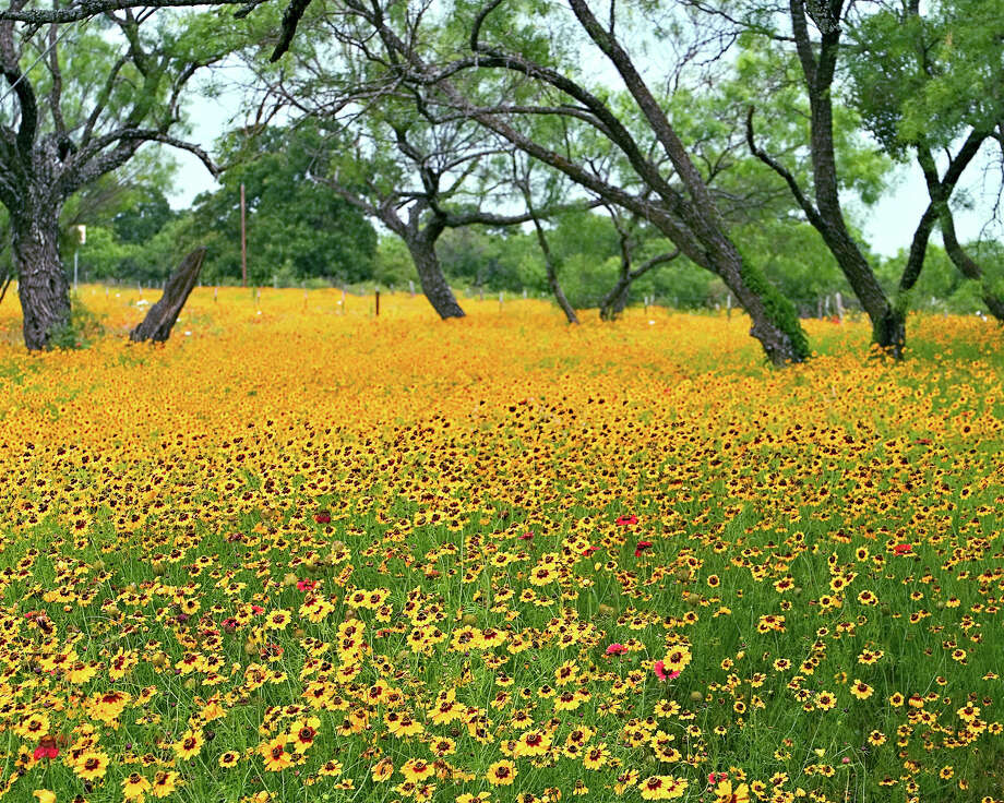 Coreopsis are recognizable from their red centers and brown centers. They bloom into summer. Photo: Rich Olivieri, WildflowerHaven.com / (C) EquipU LLC - permission granted to San Antonio Express News and Houston Chronicle for non-exclusive one time publication.