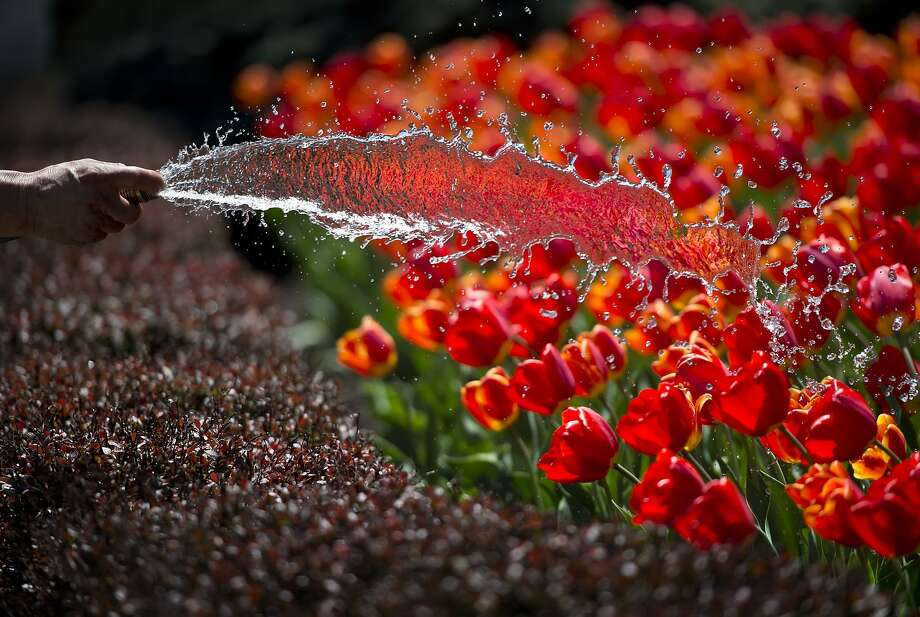 Drink up! A landscape company worker gives a bed of tulips a drink of water in Kansas City. Photo: David Eulitt, Associated Press