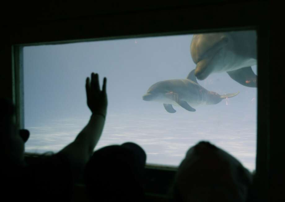 Name that little cetacean: Miami Seaquarium visitors watch Panama the dolphin and her new baby swim in their tank. A Facebook contest will determine the 2-week-old baby's name from these four nominations: Fiji, Bali, Sanibel or Calypso. Deadline for voting is May 13. Photo: Wilfredo Lee, Associated Press