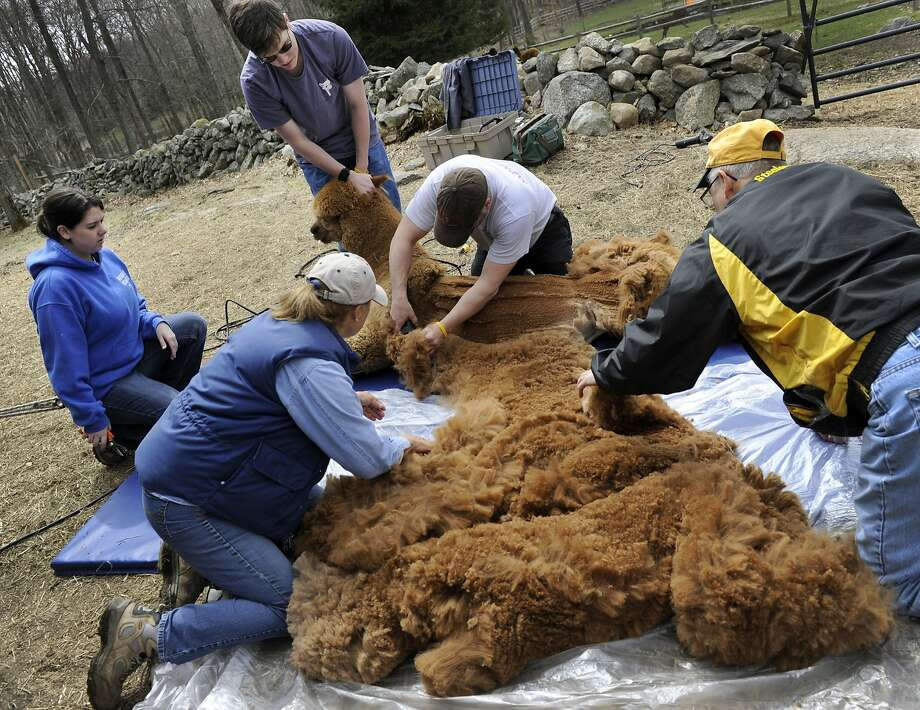That's a lot of sweaters:Lynn and Bernie Cieniawa (backs to the camera) assist Ron East and his kids, Jennifer and Ron III, in shearing Buster Brown, an alpaca on the Cieniawas' Halo Alpaca Farm in Newtown, Conn. Photo: Carol Kaliff, Connecticut Post