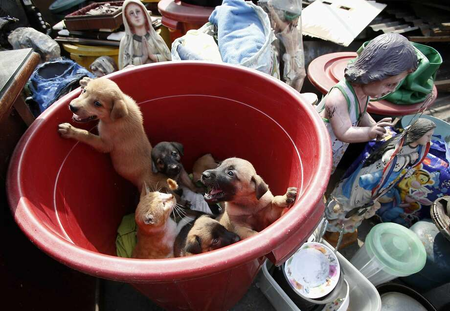 Puppies share a bucketwith a very patient cat after after a squatter colony was demolished in Tondo, Manila. Police and local officials said about 500 shanties and illegal structures were torn down to widen a road and make way for port construction. The fate of the animals was not known. Photo: Erik De Castro, Reuters