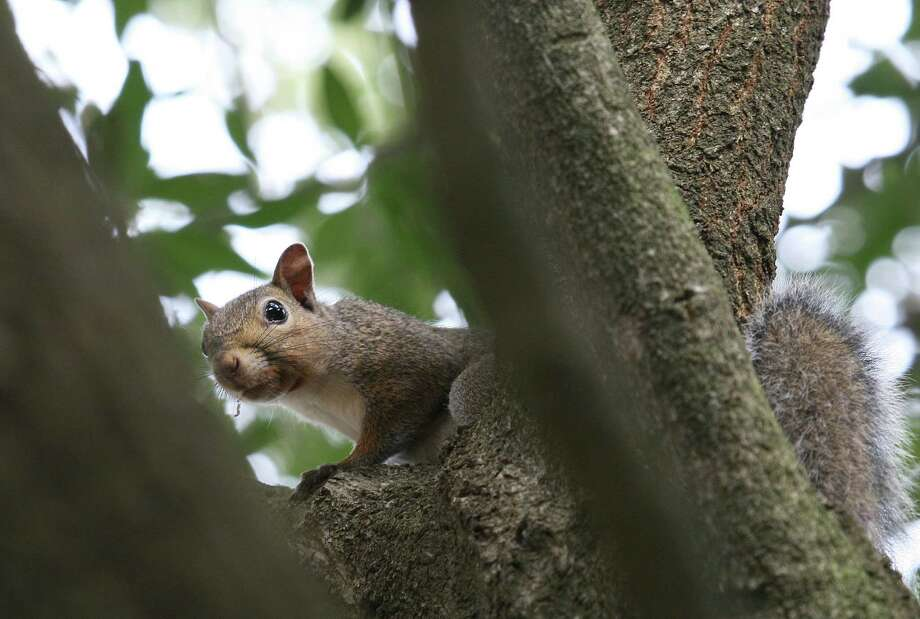 "Gray squirrels - ""cat"" squirrels to East Texas hunters - are the most commonly taken squirrel during the May 1-31 spring hunting season, accounting for about 90 percent of the harvest in 51 East Texas counties. Photo: Shannon Tompkins, Staff / Houston Chronicle"