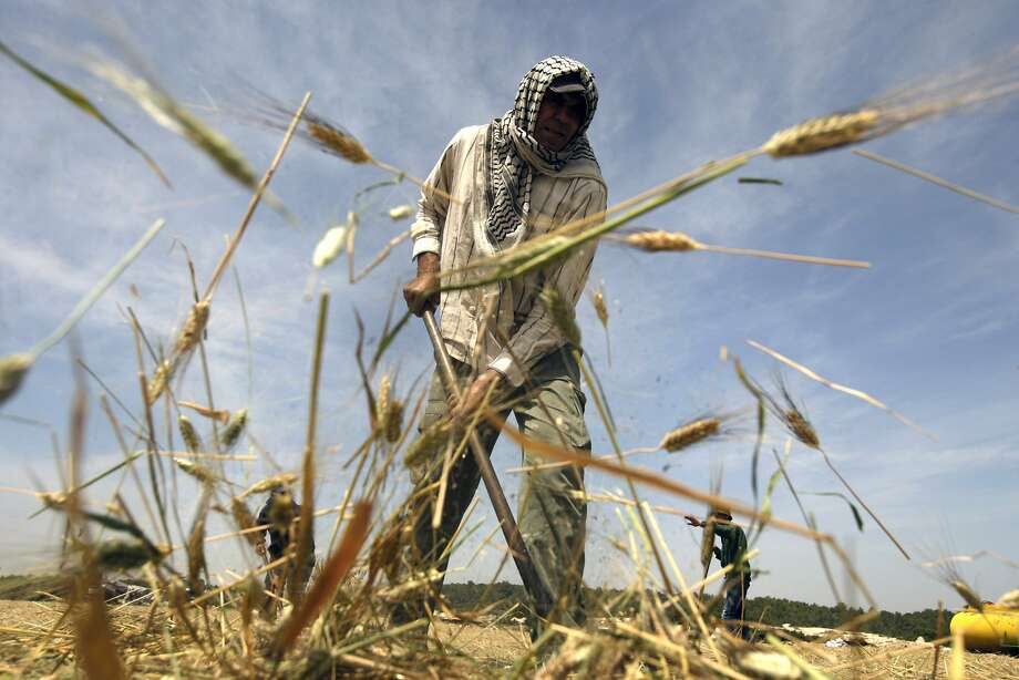 Palestinian farmers gather harvested green wheat to be roasted outside the West Bank city of Jenin, Wednesday, April 23, 2014. Roasted green wheat is used to make a popular local soup call Freekeh. (AP Photo/Mohammed Ballas) Photo: Mohammed Ballas, Associated Press