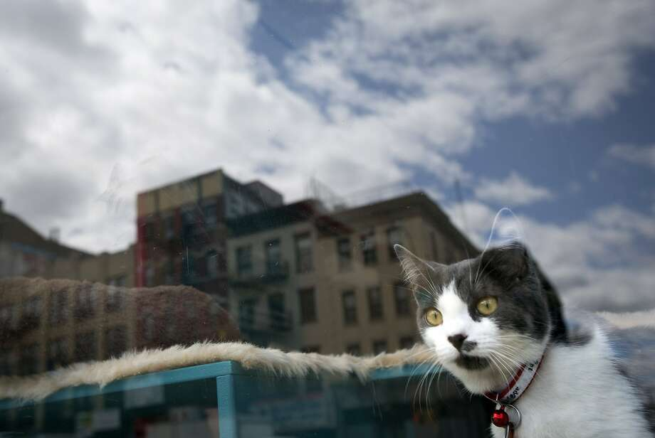 A cat looks out a window at a cat cafe in New York April 23, 2014. The cat cafe is a pop-up promotional cafe that features cats and beverages in the Bowery section of Manhattan.     REUTERS/Carlo Allegri (UNITED STATES - Tags: SOCIETY ANIMALS) Photo: Carlo Allegri, Reuters
