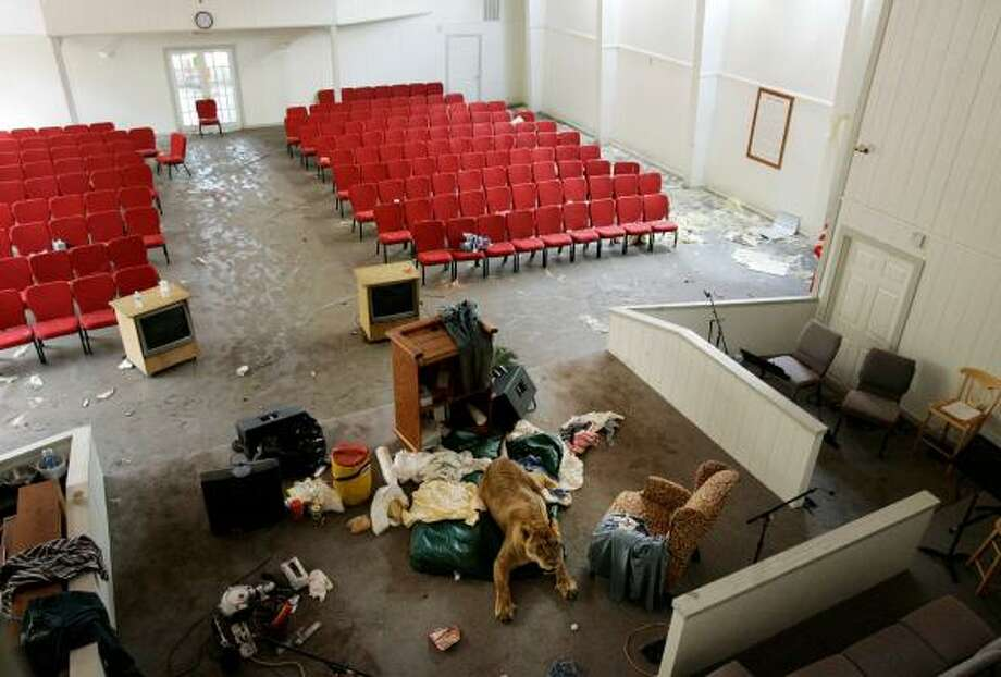 Shackle, an 11-year-old African lioness lays on an altar at the First Baptist Church on Sept. 16 in Crystal Beach. The lion and her owner waded through Hurricane Ike floodwaters to the church after Ike hit. Photo: Tony Gutierrez, AP