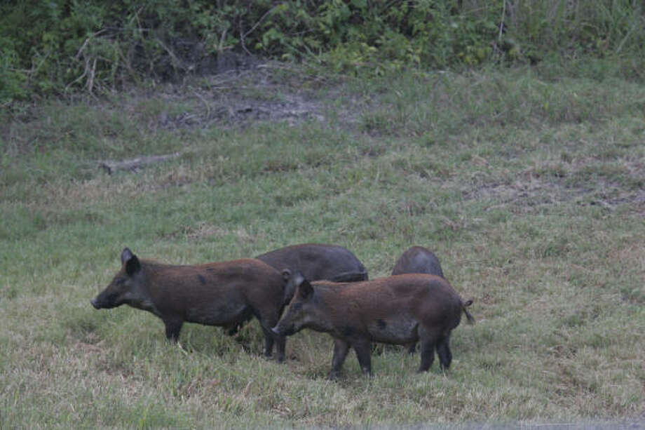 Texas' 2 million or so feral hogs cause tens of millions of dollars in damage to agriculture by competing with native wildlife, wreaking havoc on deer feeders and food plots, and otherwise spoiling hunters' efforts. Photo: Shannon Tompkins, Chronicle